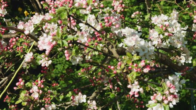 close up of apple tree blossom. - 園芸学点の映像素材/bロール