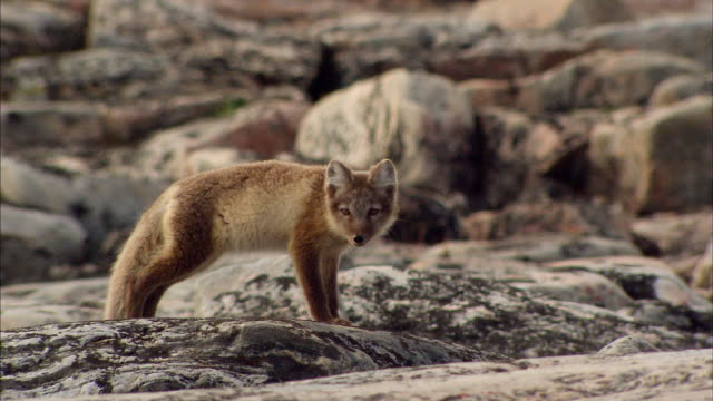 Close up of Arctic Fox on rock