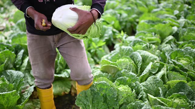 close up of asian farmer cutting harvesting picking up cabbage on fields - freshness stock videos & royalty-free footage