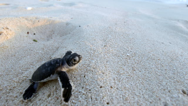 close up of baby hatchling heading to shore - green turtle stock videos & royalty-free footage