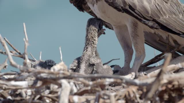 close up of baby osprey chicks in nest under parents legs - ミサゴ点の映像素材/bロール