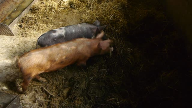 Close up of baby pig on traditional livestock farm