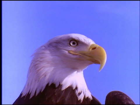 close up of bald eagle's head / blue sky in background