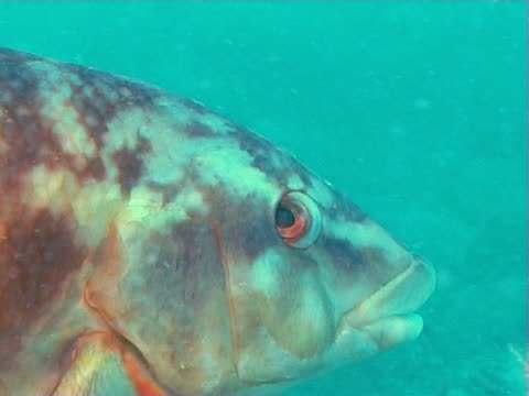 Close up of Ballan wrasse fish near Sea bed