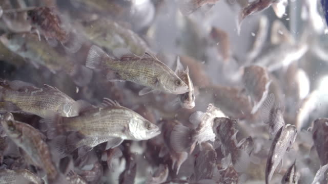 close up of barramundi fingerlings in tank - zoology stock videos & royalty-free footage