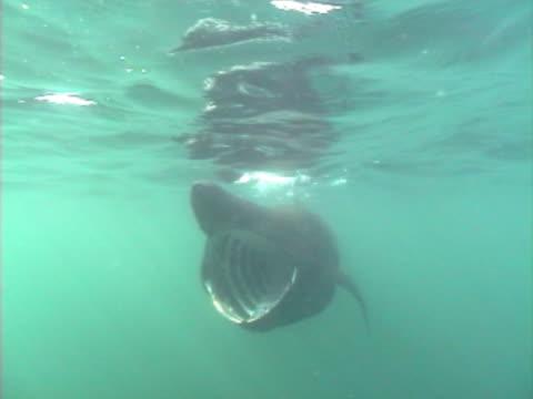 vídeos y material grabado en eventos de stock de close up of basking shark - peregrino