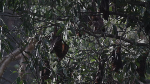 vídeos de stock e filmes b-roll de close up of bats hanging in tree and stretching wings out - parte do corpo animal