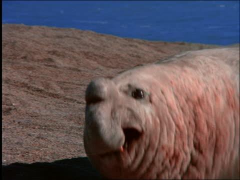 vídeos de stock, filmes e b-roll de close up of beached elephant seal / patagonia, argentina - elefante marinho