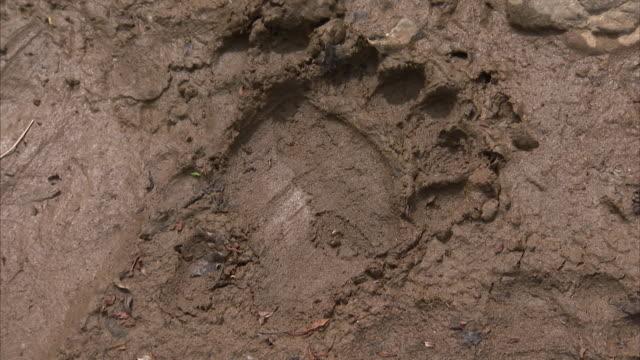Close up of bear footprint in mud