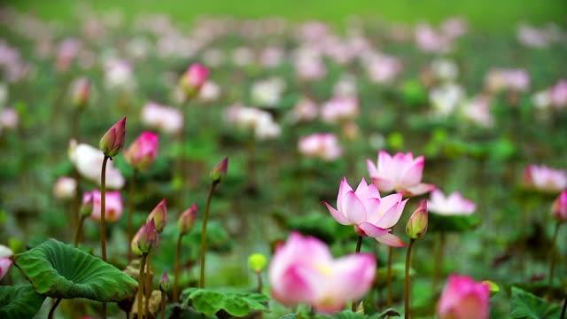 vídeos y material grabado en eventos de stock de cerca de hermosa flor de loto en el estanque con el tiro de cámara lenta. - loto