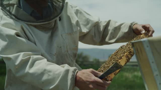 vídeos de stock e filmes b-roll de close up of beekeeper examining frame from beehive / spring city, utah, united states - grupo mediano de animales
