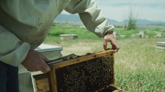 vídeos de stock e filmes b-roll de close up of beekeeper lifting and examining frame from beehive / spring city, utah, united states - grupo mediano de animales