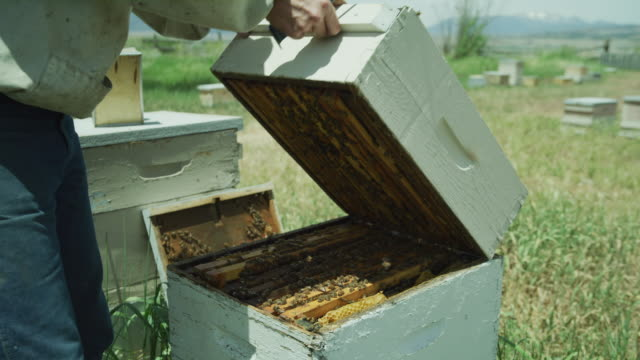 vídeos de stock e filmes b-roll de close up of beekeeper lifting and removing top box from beehive / spring city, utah, united states - grupo mediano de animales