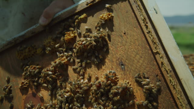vídeos de stock, filmes e b-roll de close up of bees crawling on beehive frame / spring city, utah, united states - grupo mediano de animales
