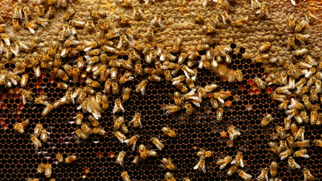 4k close up of bees on honeycomb in apiary - hexagon stock videos and b-roll footage