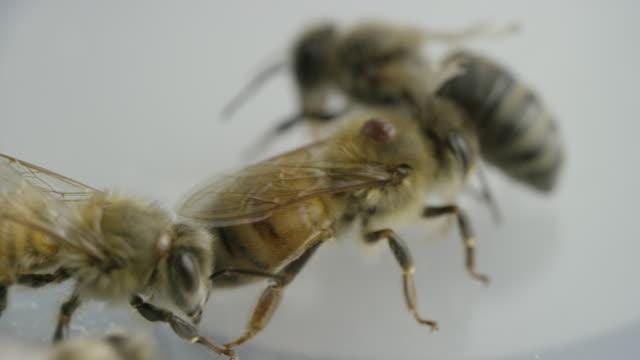 stockvideo's en b-roll-footage met close up of bees - vier dieren