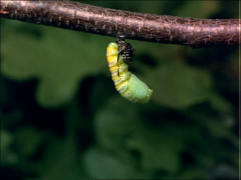 vídeos de stock, filmes e b-roll de close up of beginning of metamorphosis of caterpillar forming chrysalis - lagarta