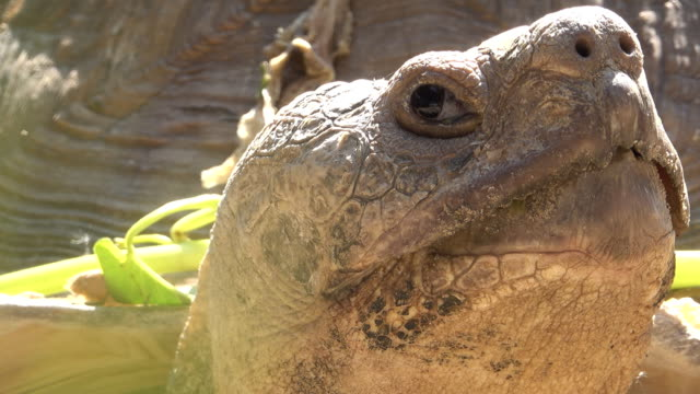 Close up of Big turtle curiously looking around