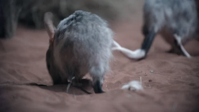 close up of bilbies and pademelons foraging in red sand - 絶滅の恐れのある種点の映像素材/bロール