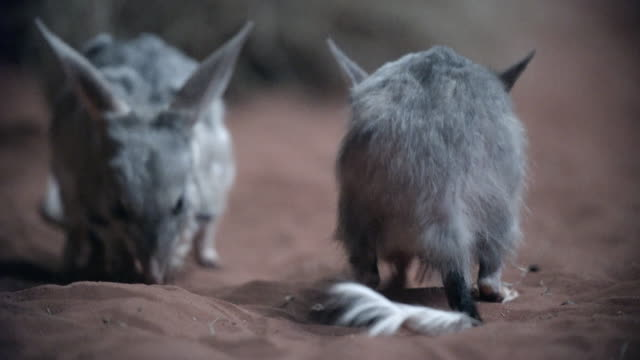 close up of bilbies foraging in red sand - foraging stock videos & royalty-free footage