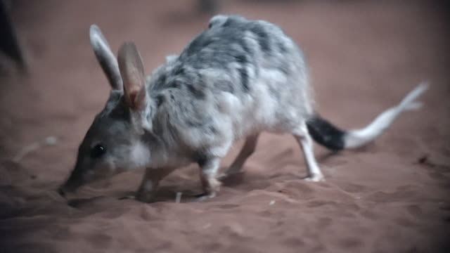 vídeos y material grabado en eventos de stock de close up of bilbies foraging in red sand - forrajear
