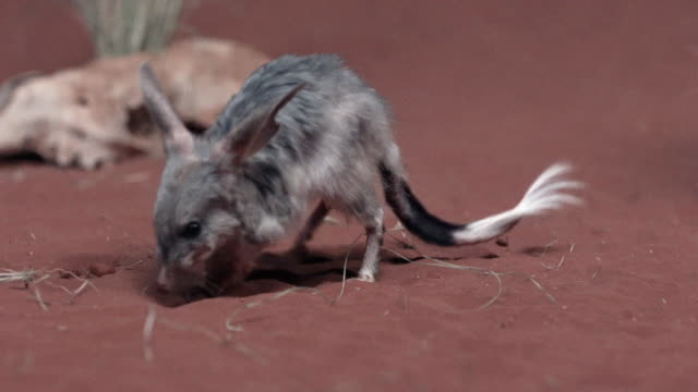 close up of bilby eating on red sand - foraggiamento video stock e b–roll