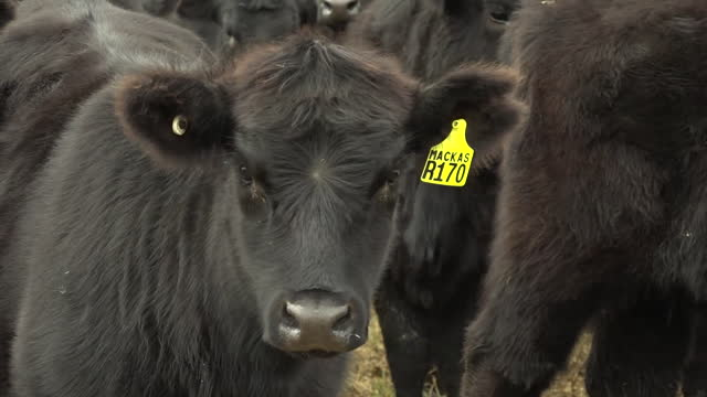 close up of black angus cattle, on cattle farm in gloucester, new south wales, australia - domestic animals stock videos & royalty-free footage