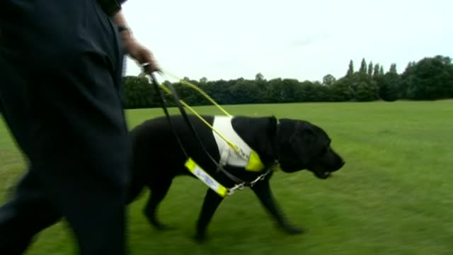 close up of black labrador guide dog walking with owner across a field - pure bred dog stock videos & royalty-free footage