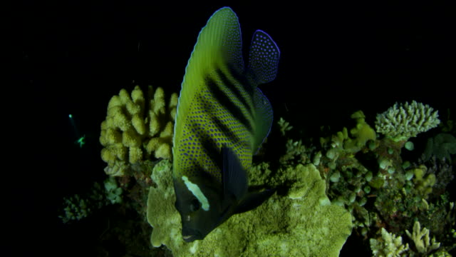 close up of blue spotted yellow black striped tropical fish swimming in coral reef at night - undersea stock videos & royalty-free footage