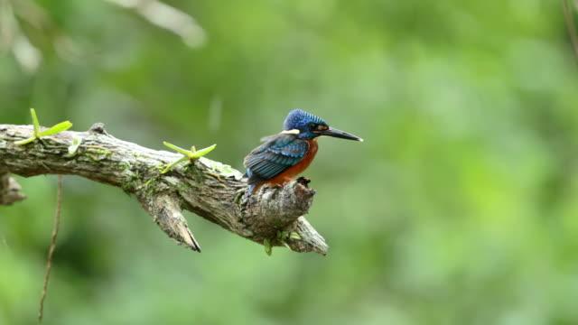 vídeos de stock, filmes e b-roll de close-up de kingfisher (alcedo meninting) na chuva, câmera lenta-de-orelha-azul - land