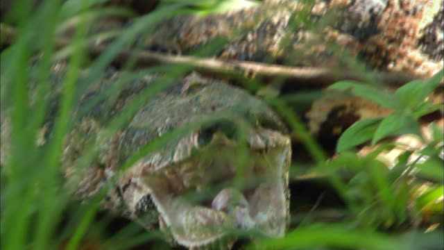 close up of boa crawling and opening mouth on amazon rainforest - reptile stock videos & royalty-free footage