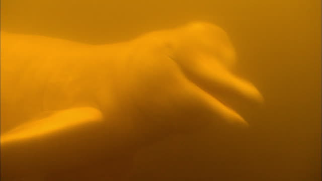 close up of boto river dolphin swimming underwater - amazonas state brazil stock videos and b-roll footage
