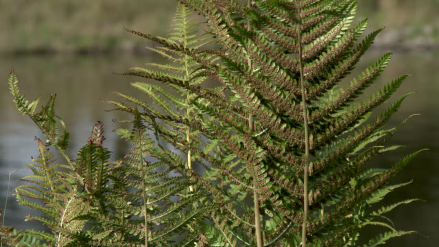 close up of bracken with a scottish loch in the background - johnfscott stock videos & royalty-free footage