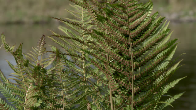 close up of bracken with a scottish loch in the background - bracken stock videos and b-roll footage
