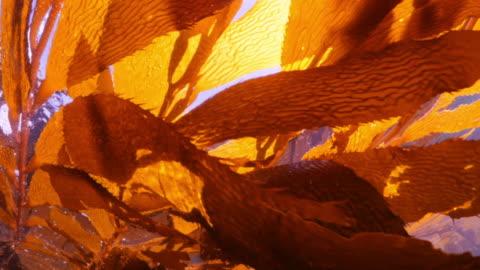 vídeos y material grabado en eventos de stock de close up of brown algae leaves floating on ocean surface - carmel by the sea, california - kelp