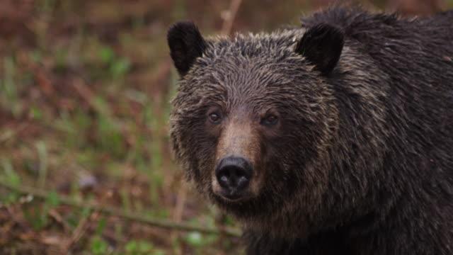 vidéos et rushes de fermez-vous vers le haut de l'ours brun dans les bois canadiens - ours brun