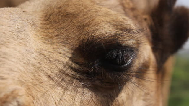 Close up of camel's face
