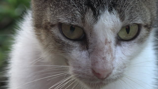 Close up of cat face. The animal is in a Cuban farm, free roaming in the green grass field surrounding the ranch