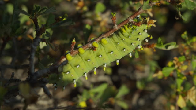 Close up of caterpillar hanging on branch / Arco, Idaho, United States