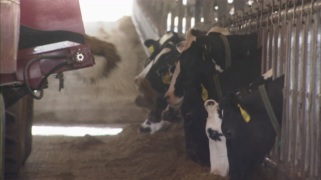 Close up of cattle eating the dairy feed as the dispenser rolls by.