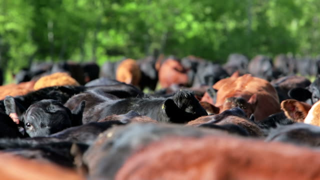stockvideo's en b-roll-footage met close up of cattle herd - ranch