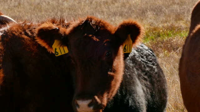 close up of cattle with ear tags in a pasture in northern california camera zooms out bridgeport california - californian sierra nevada stock videos & royalty-free footage