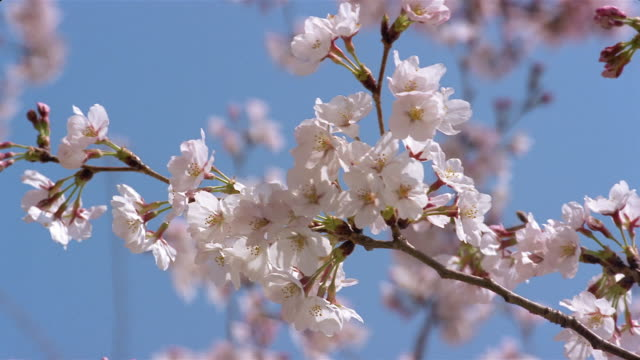 Close up of cherry blossoms on branch of cherry tree / Washington, DC