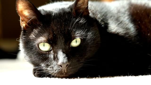 チル・ブラック・キャットのクローズアップ - 黒猫点の映像素材/bロール
