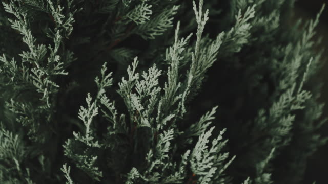 close up of christmas tree  in nature. - stock video - christmas tree stock videos & royalty-free footage