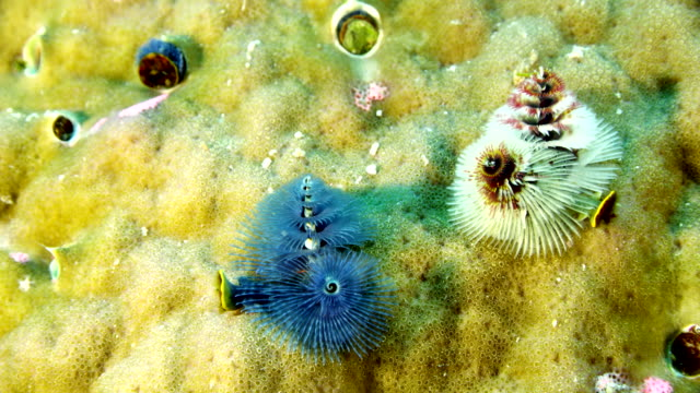 stockvideo's en b-roll-footage met close up of christmas tree worms on coral - kokerworm