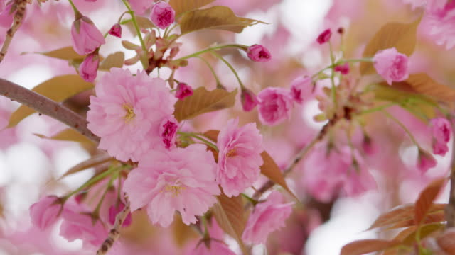 close up of close up of flowering cherry branches in spring, prunus serrulata. bavaria, germany.lowering cherry branches in spring, prunus serrulata. bavaria, germany. - bud stock videos & royalty-free footage