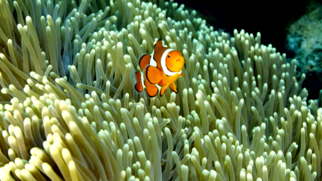 stockvideo's en b-roll-footage met close up of clown fish swimming in anemone - clownvis
