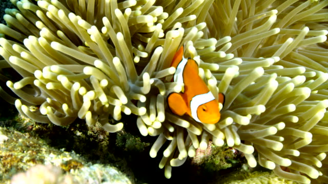 close up of clown fish swimming in anemone - anemonenfisch stock-videos und b-roll-filmmaterial