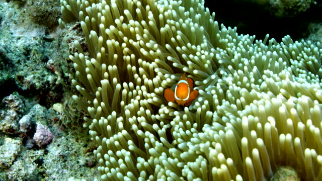 close up of clown fish swimming in anemone - anemonefish stock videos & royalty-free footage